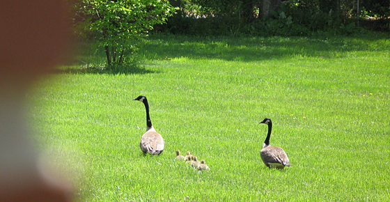 Geese family in True Buddha Temple Maryland
