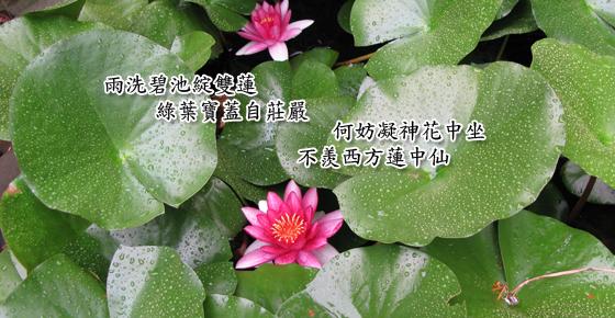 Lotus in TBTM's pond